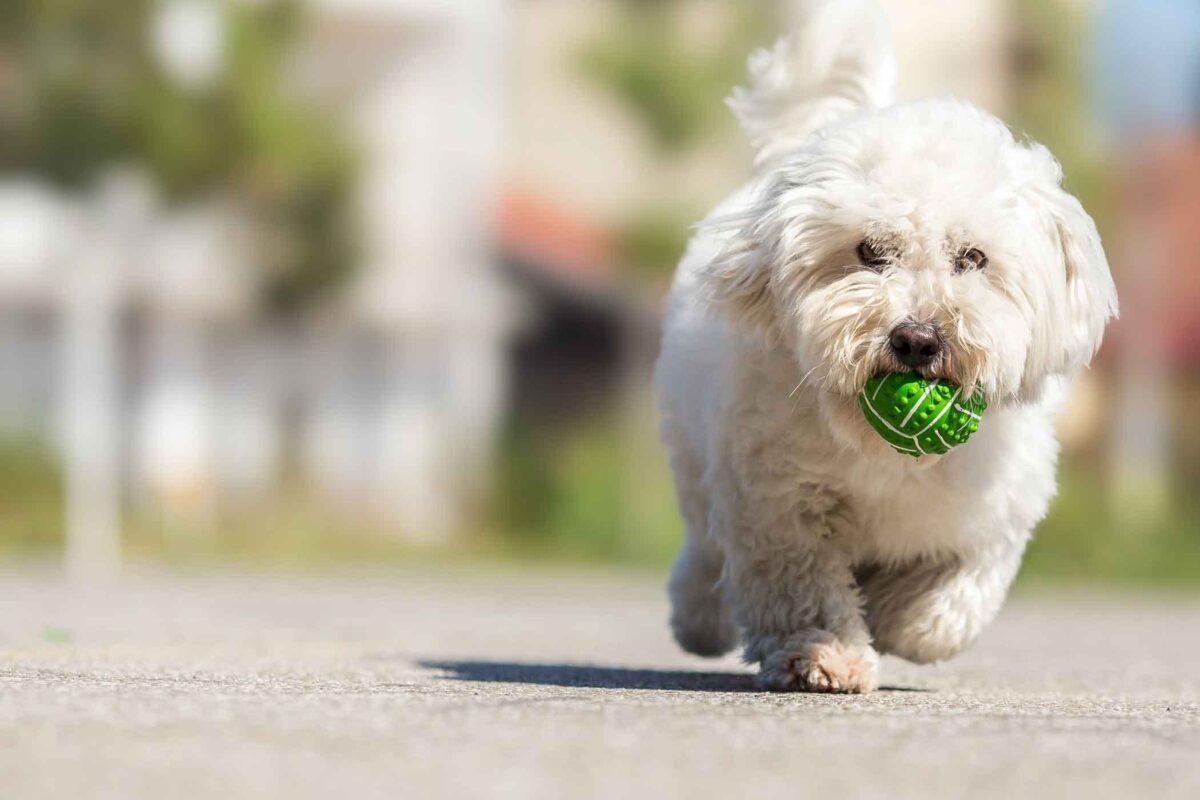 سگ سفید در حال توپ بازی