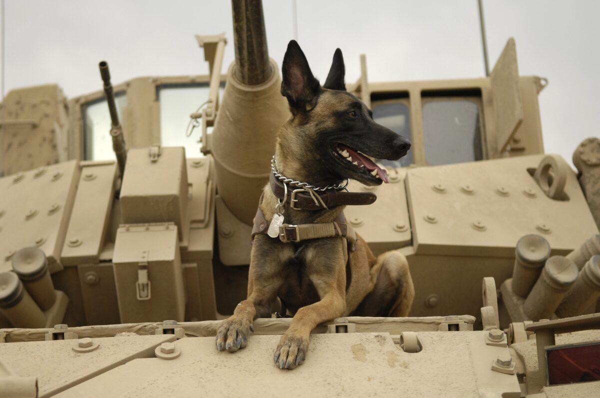 سگ مالینویز روی تانک