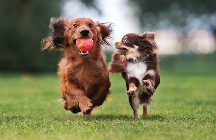دو سگ در حال بازی