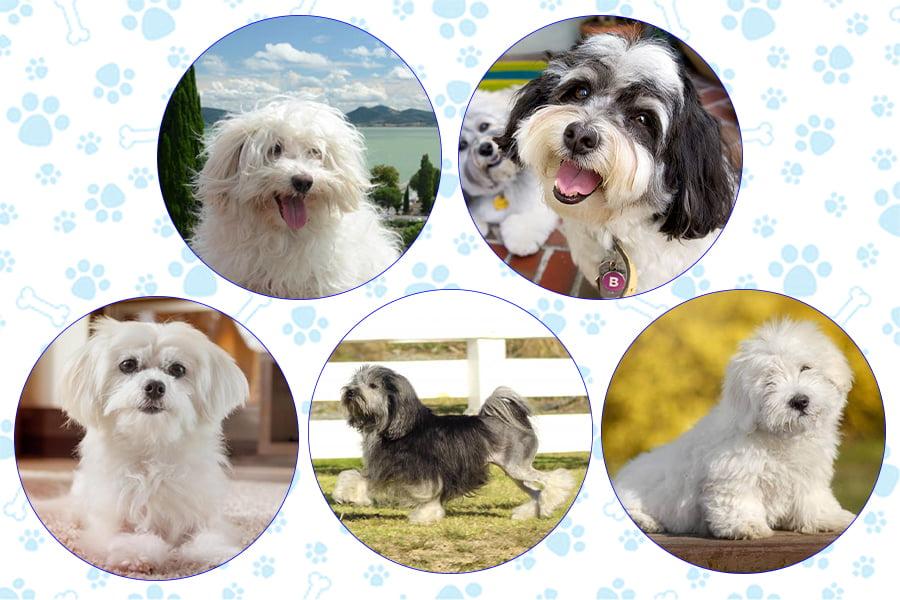 نژادهای هم خانواده با سگ Bichon Frise