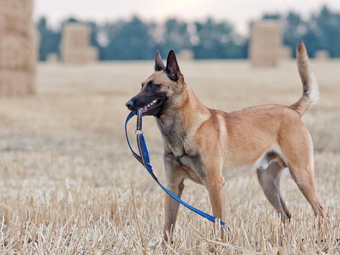 سگ مالینویز با قلاده