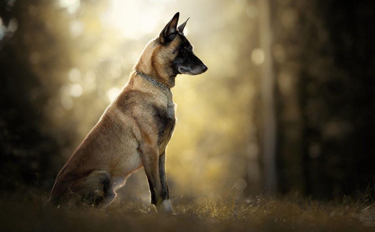سگ مالینویز در طبیعت