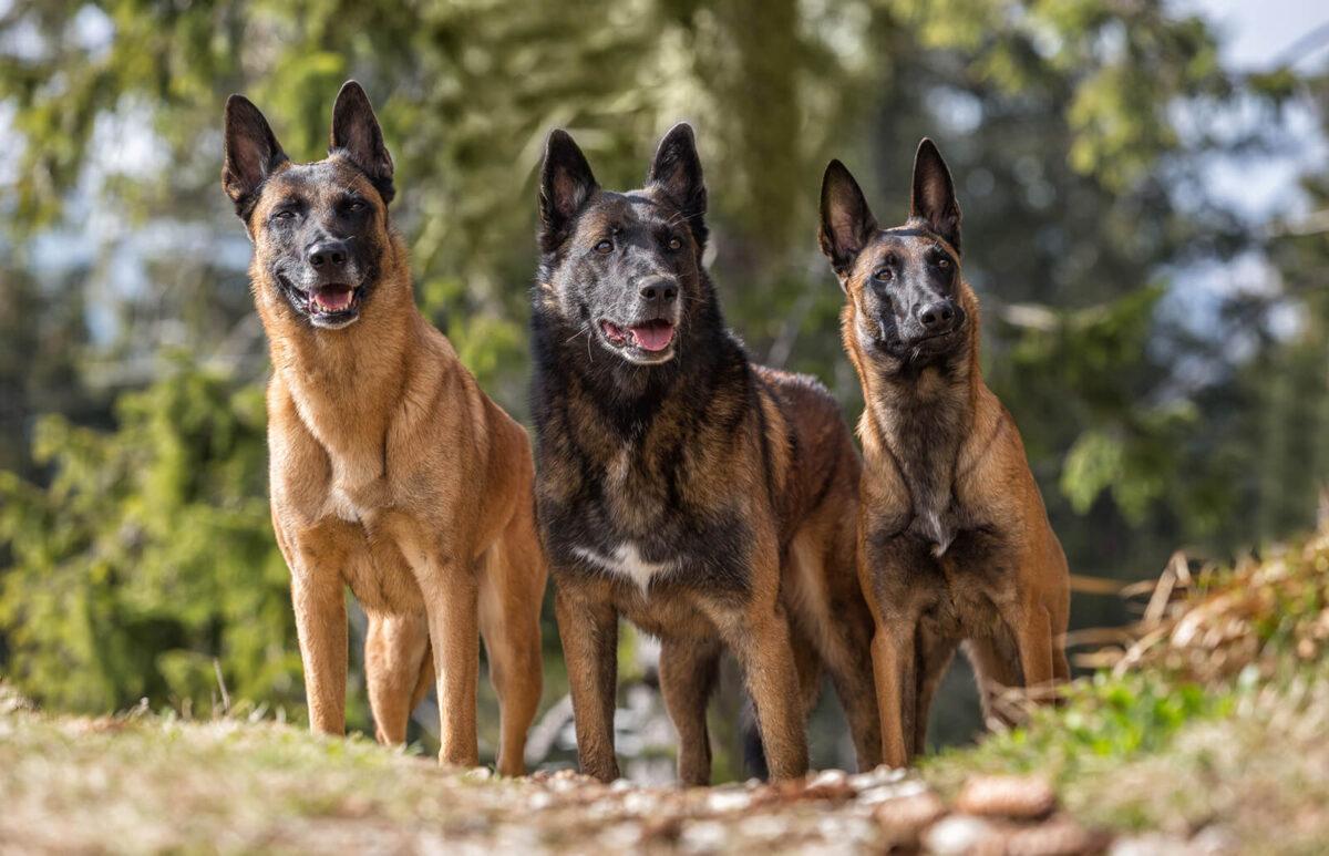 سه سگ مالینویز بلژیکی