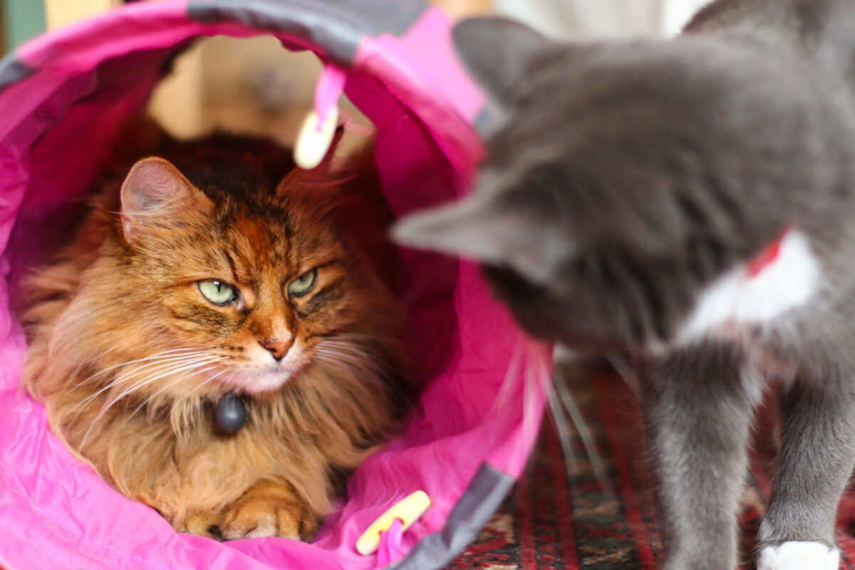 گربه داخل تونل بازی در حال نگاه کردن به گربه دیگر