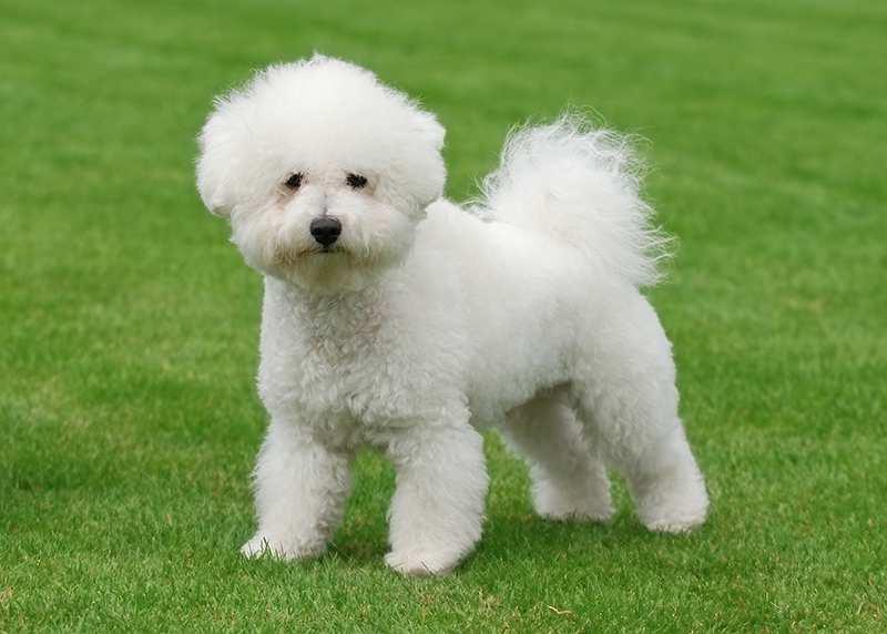 سگ بیچون فرایز سفید، با موهای سفید و مجعد و چشمان تیله ای