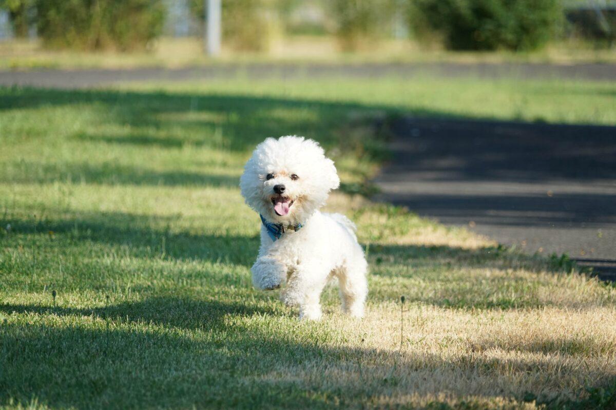 سگ بیچون فرایز سفید در حال دویدن روی چمن
