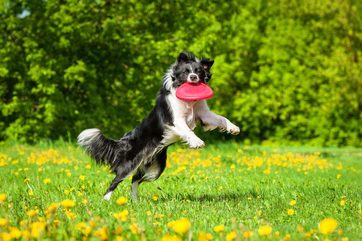 آموزش بازی فریزبی به سگ
