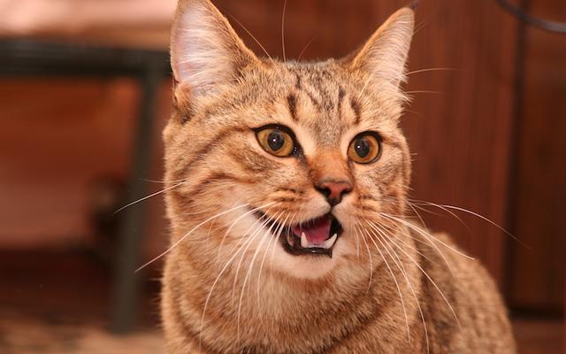 یک گربه در حال لبخند زدن که دندانهای سالم او را نمایش میدهد