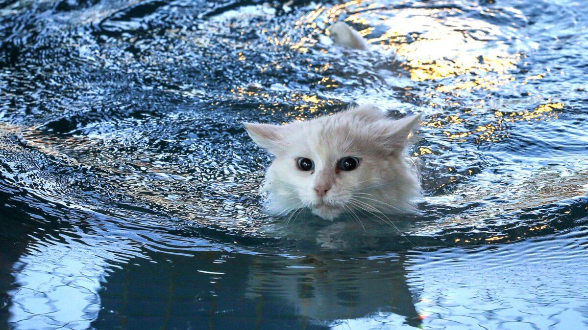 گربه سفید در حال شنا کردن