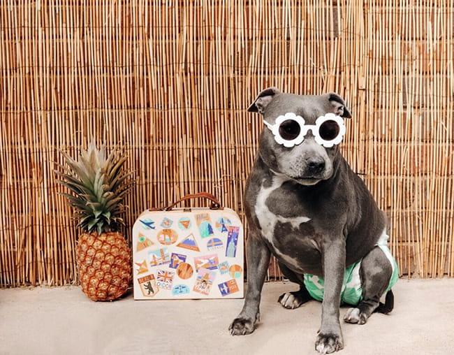 سگ پیر همراه با عینک دودی و پوشک