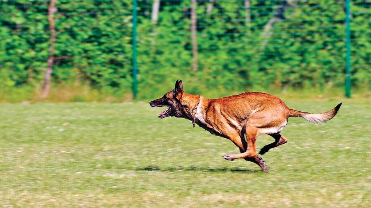سگ بلژین مالینویز در حال دویدن