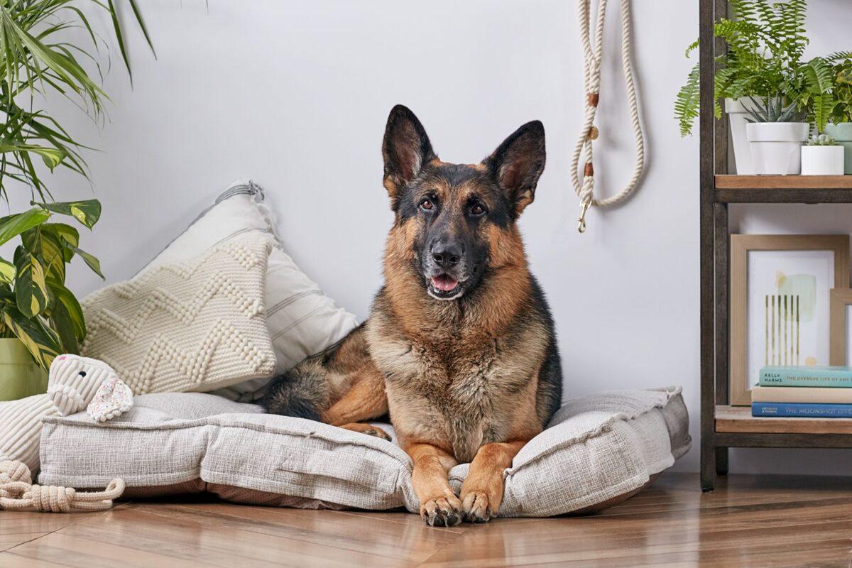 نگهداری سگ ژرمن در آپارتمان