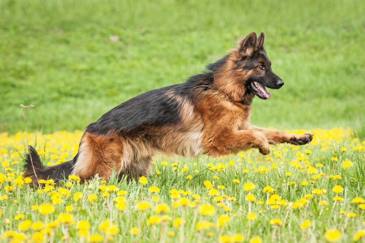 سگ ژرمن شپرد در حال دویدن در طبیعت