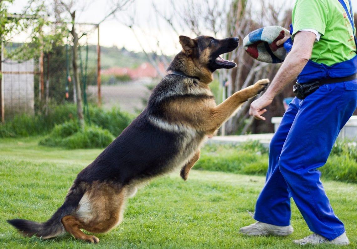 تربیت سگ ژرمن شپرد
