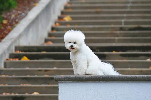 سگ با اعتماد به نفس بیچون فرایز روی پلهها نشسته در حای که به دوربین نگاه میکند.