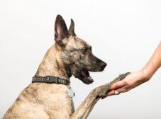 تربیت سگ مالینویز بلژیکی