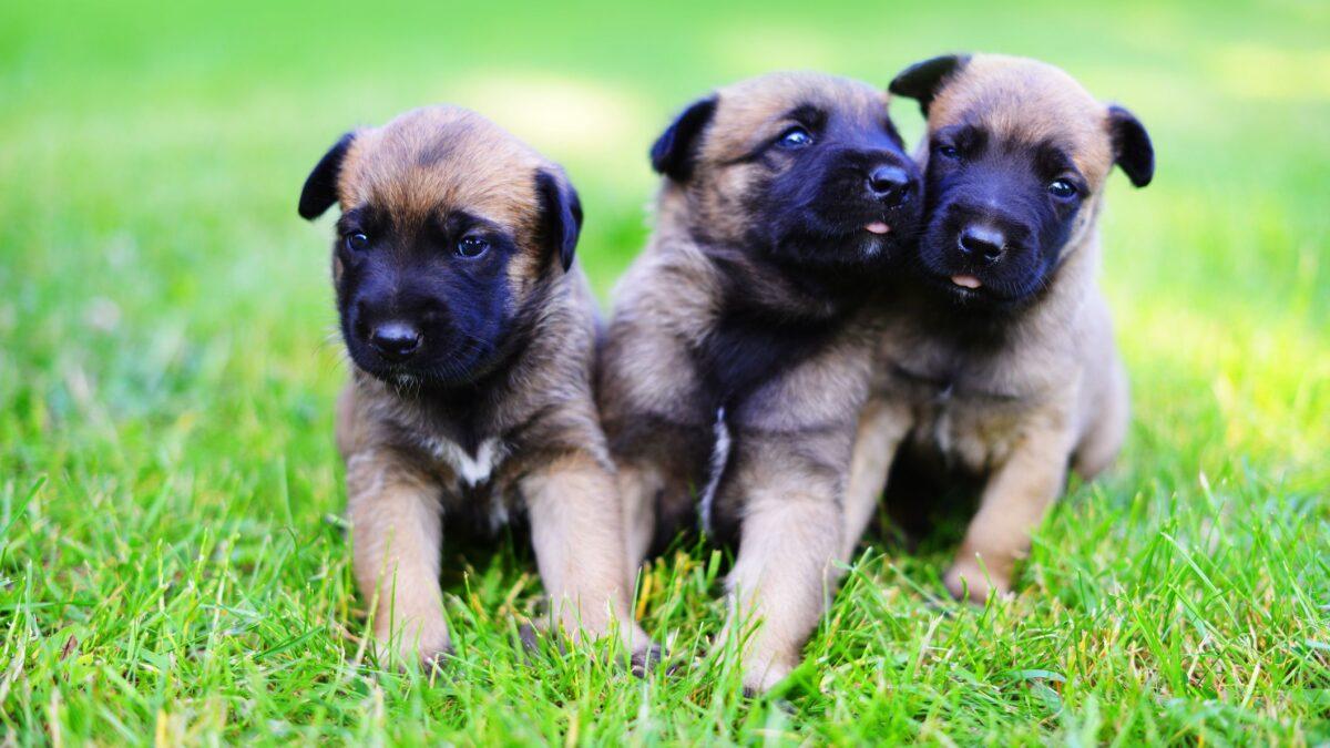 توله سگ های بلژین مالینویز