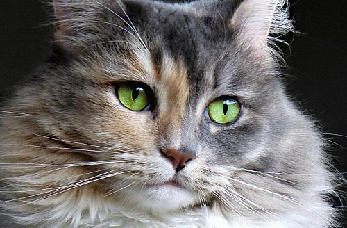 علایم عفونت چشم گربه