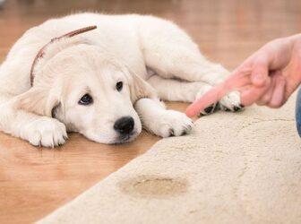 ادرار هیجانی و مطیعانه در سگها +دلایل و راههای پیشگیری و حل مشکل
