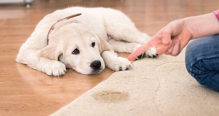 بی اختیاری ادرار در سگ