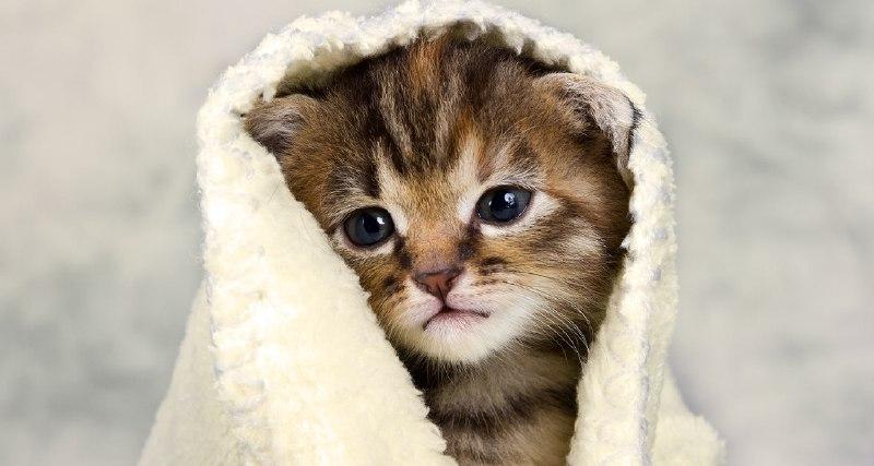 سرماخوردگی بچه گربه