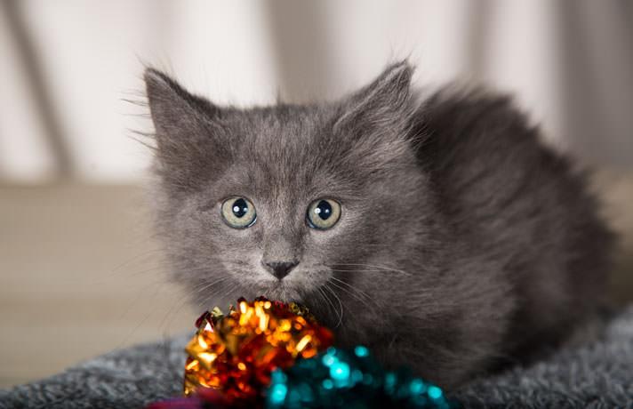 مشکلات چشمی در بچه گربه طوسی رنگ با چشمان کوچک