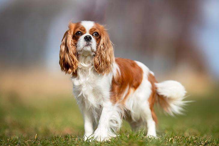 سگ کاوالیر کینگ چارلز اسپانیل در طبیعت