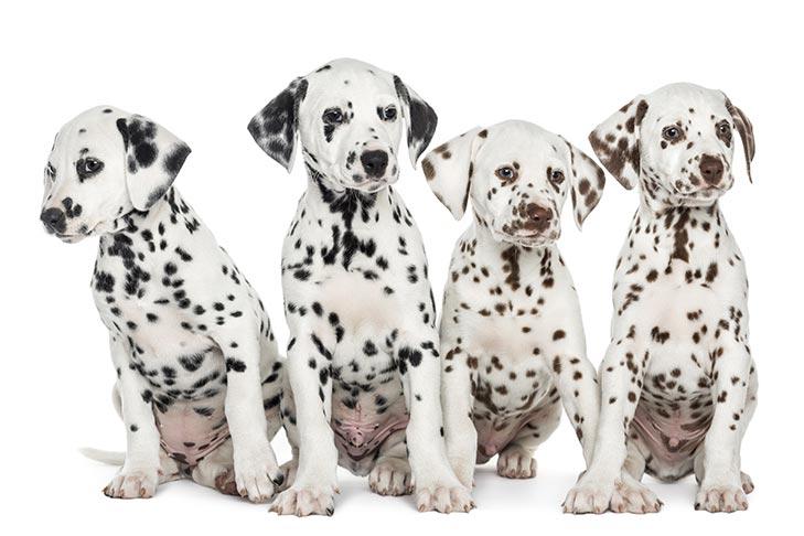 توله سگ دالمیشن قهوه ای و سیاه و سفید