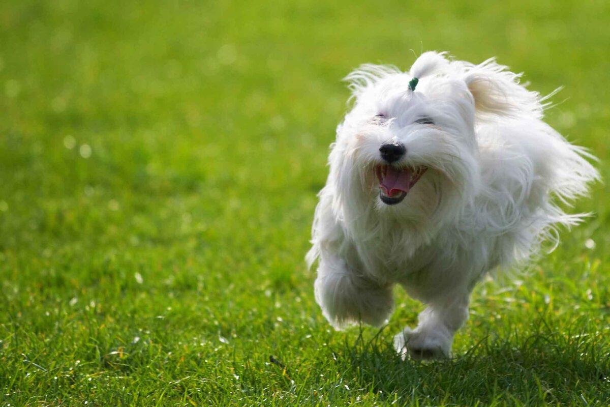 بی اختیاری ادرار هیجانی در سگ