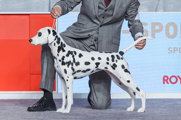 عکس سگ دالمیشن