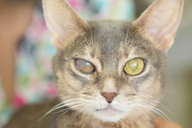 زخم قرنیه در چشمهای گربه