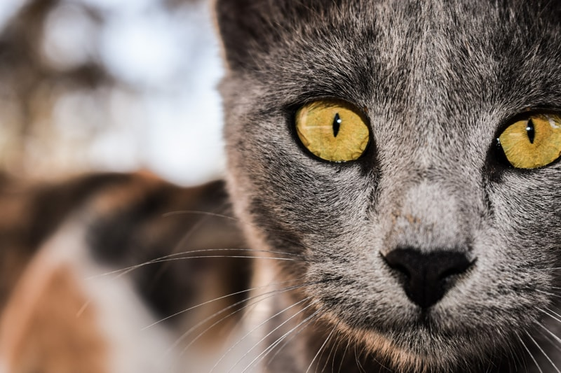 گربه با چشمان سالم زرد شفاف و براق