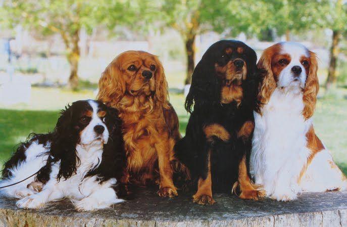 رنگ های سگ کاوالیر کینگ