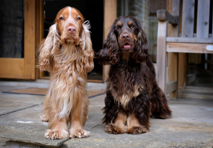 دو سگ انگلیش کاکر اسپنیل