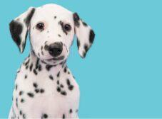 همه چیز درباره نژاد دالمیشن؛ سگ خالدارِ باشکوه!