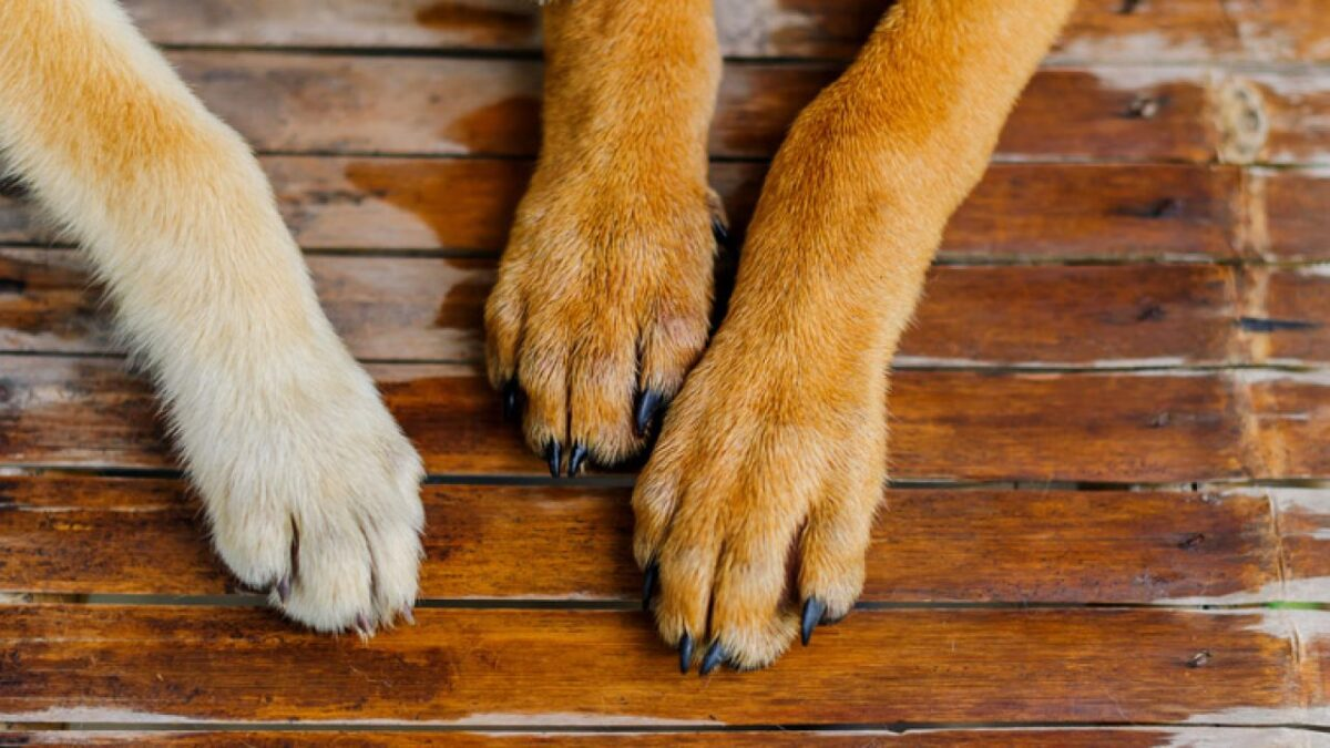 پنجههای سگ