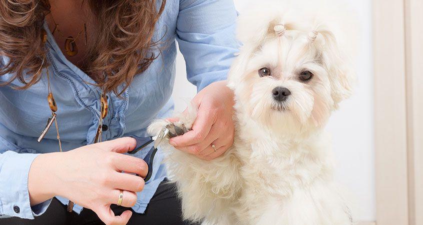 کوتاه کردن ناخن سگ با ناخنگیر قیچی