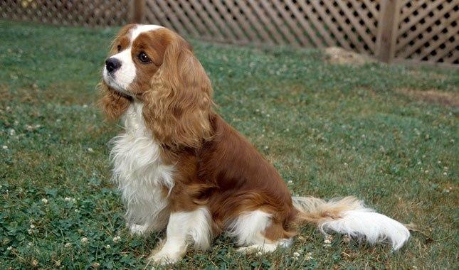 مشخصات سگ کاوالیر کینگ