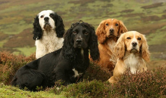 چند سگ کاکر اسپنیل در رنگهای مختلف
