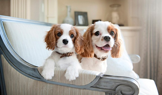 دو توله سگ کاوالیر کینگ چارلز اسپنیل