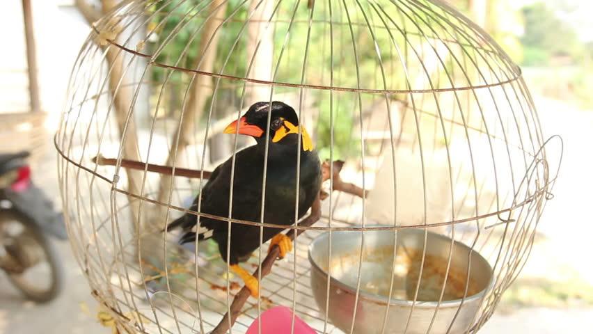 نگهداری مرغ مینا در قفس
