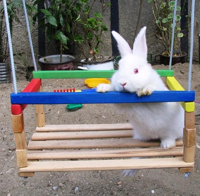 خرگوش سفید در حال تاب بازی و جویدن چوب