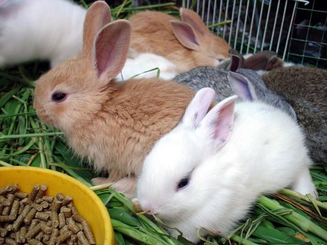 تعدادی خرگوش در قفس مخصوص در حال غذا خوردن