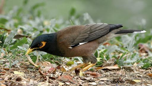 حشرات؛ منبع طبیعی برای تغذیه مرغ مینا محسوب می شود
