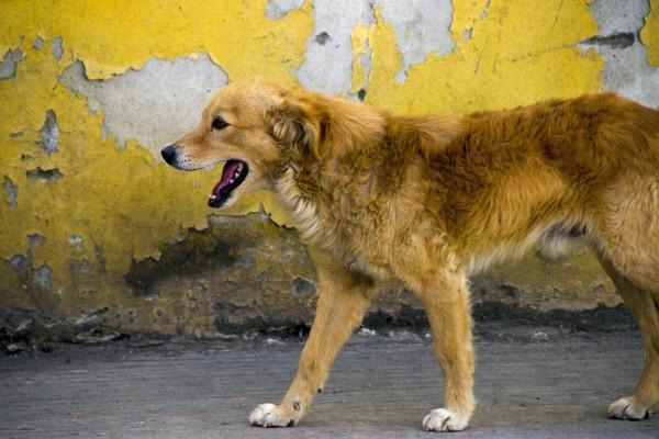 بیماری هاری در سگ ولگرد