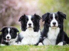 نژاد بوردر کولی؛ سگ چوپانِ باهوش و پرانرژی!