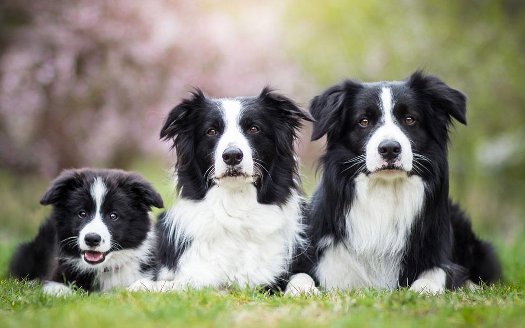 سه سگ بردر کولی سیاه سفید
