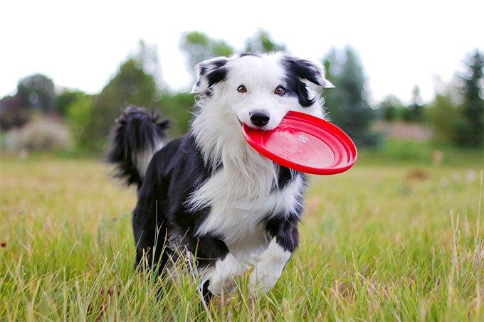 عکس سگ بردر کالی در حال بازی فریزبی