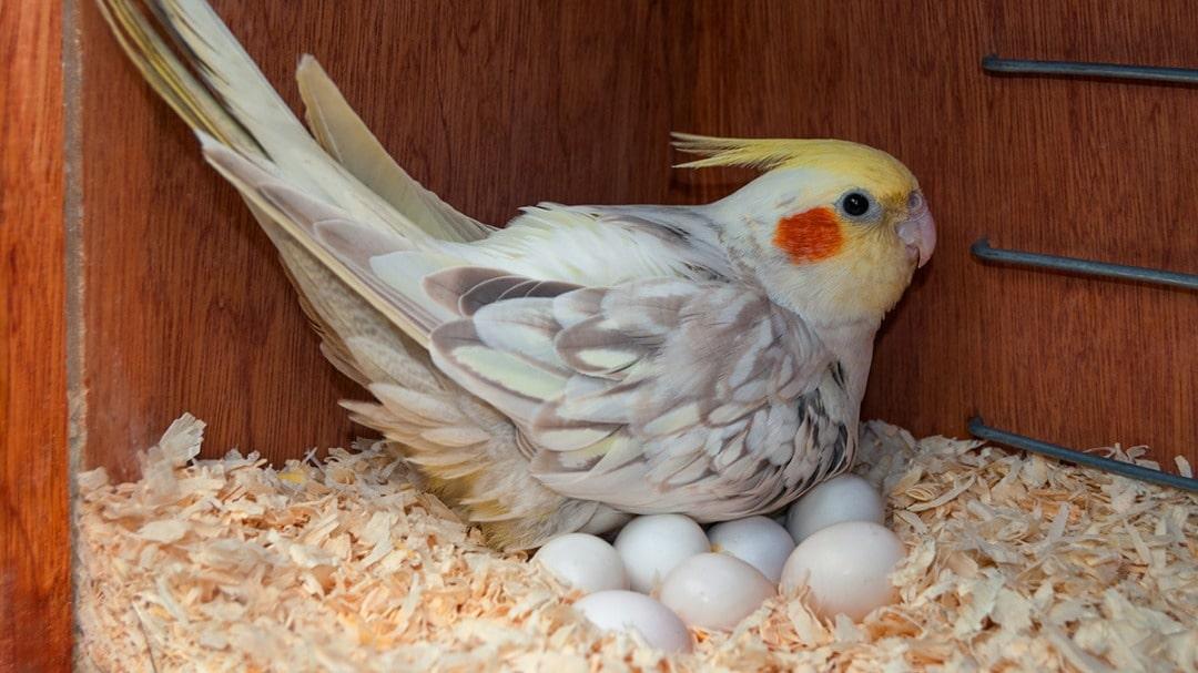 عروس هلندی ماده روی تخمها