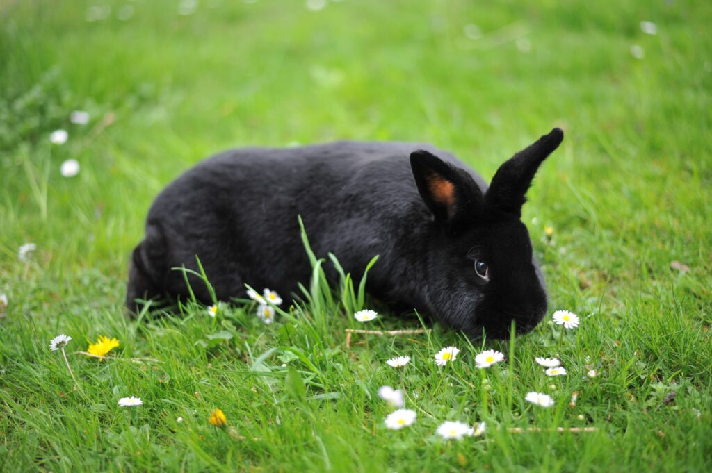 عکس خرگوش مشکی نژاد آلاسکا روی چمن